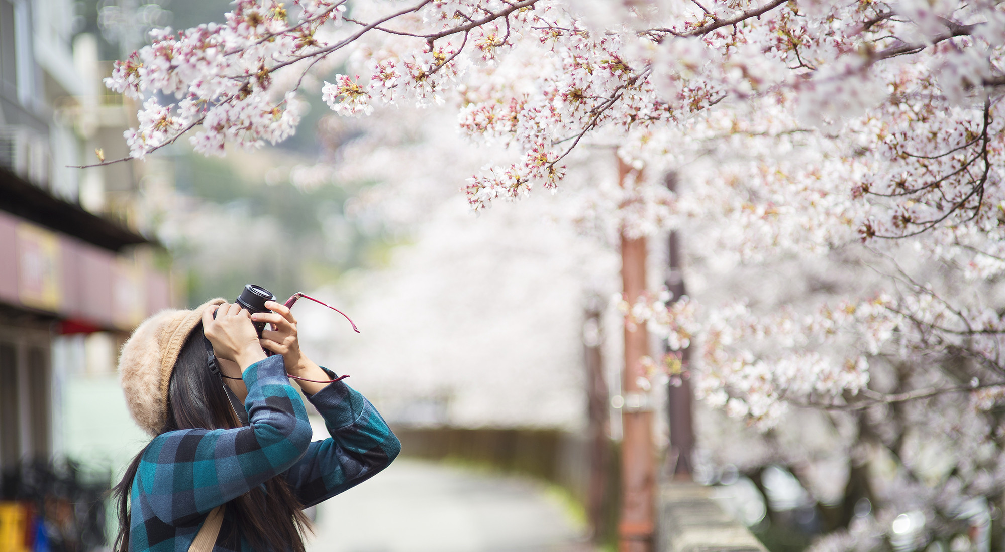 Travel - Cherry Blossoms Picture