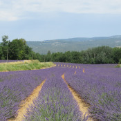 Travel - Photo Contest - Lavender Fields 68